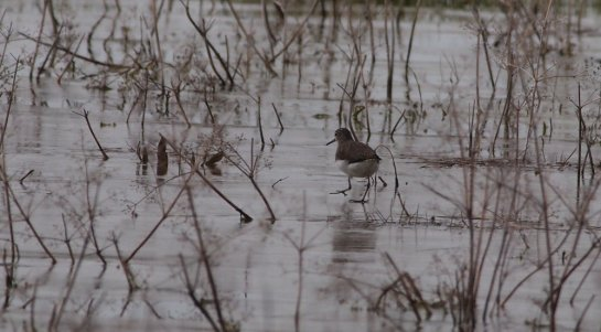 Green Sandpiper on the ice