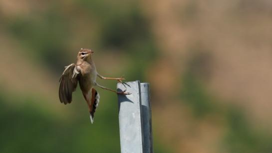 Rufus-tailed Robin